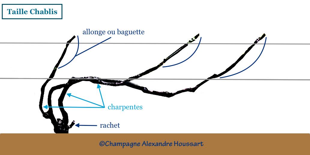 Taille chablis une technique utilisée pour le chardonnay du Champagne A Houssart