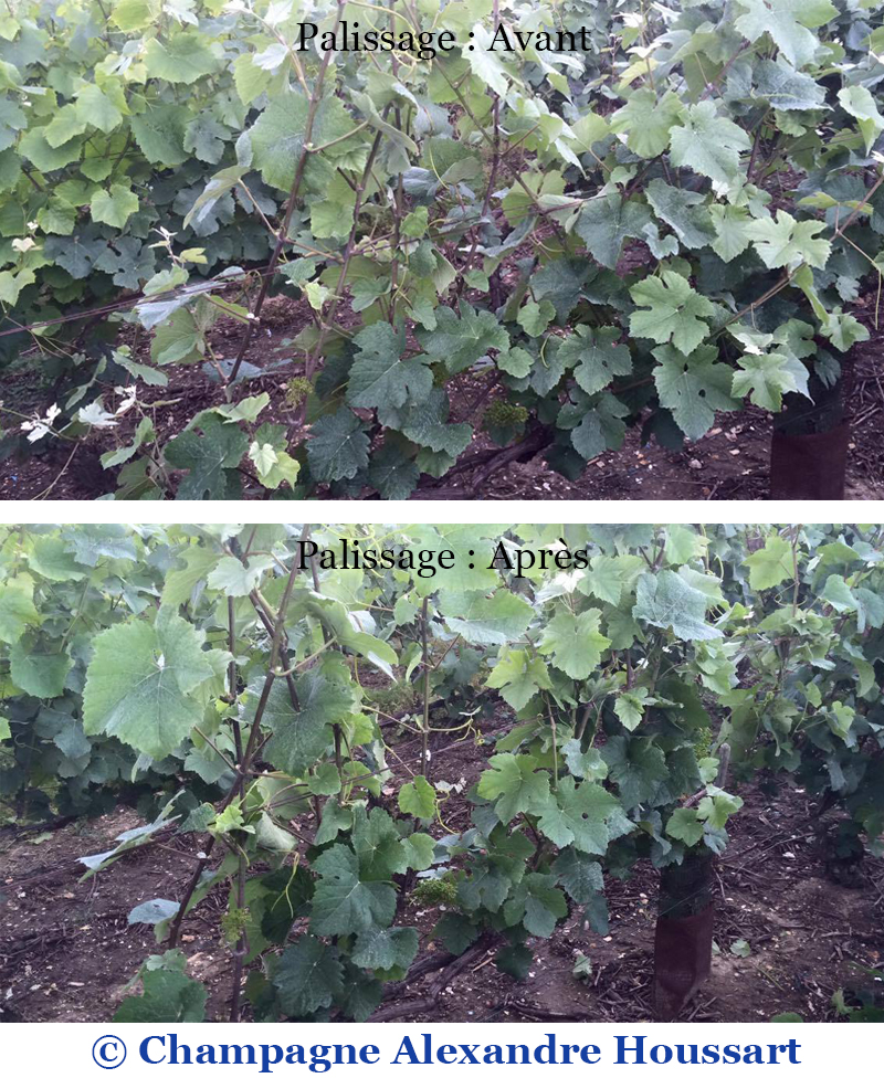 Comparaison d'un cep de vigne avant et après le palissage - Champagne Alexandre Houssart
