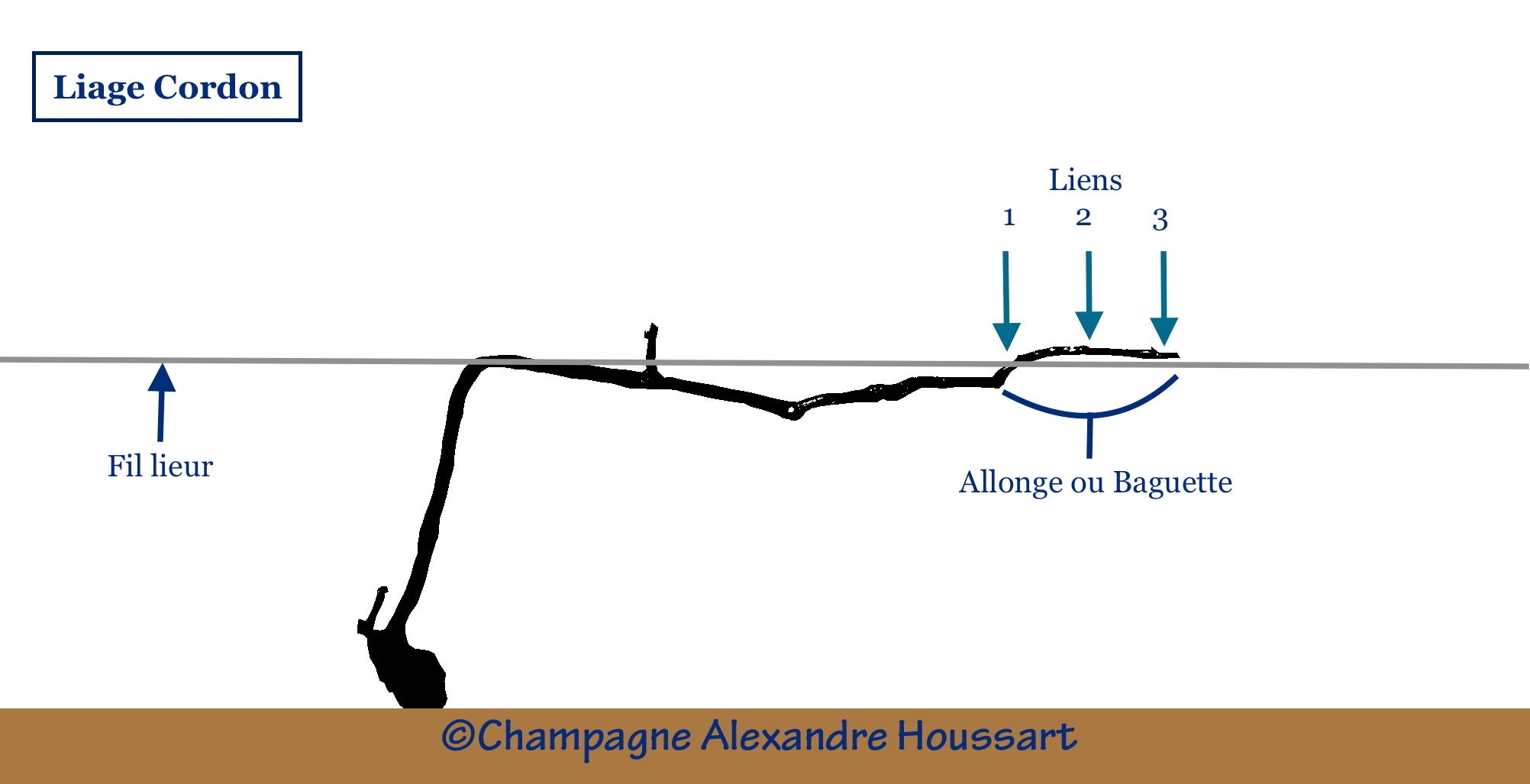 schéma du liage suivant la taille cordon Champagne Alexandre Houssart