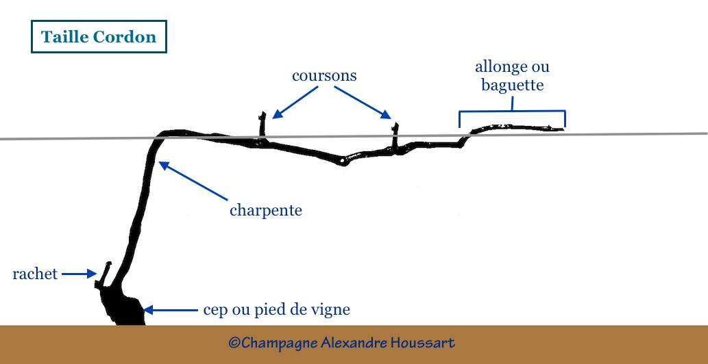 Taille Cordon une technique utilisée pour les pinots du Champagne A. Houssart